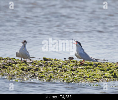 Forster's Tern Begging for Fish Held by Another Tern - Stock Image