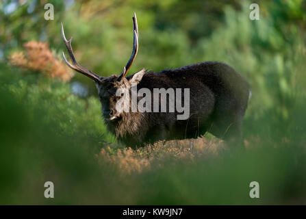 Sika Stag - Stock Image