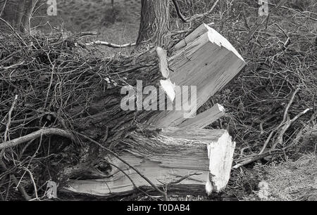 Root of a tree upturned and split after being cut and felled, England, - Stock Image