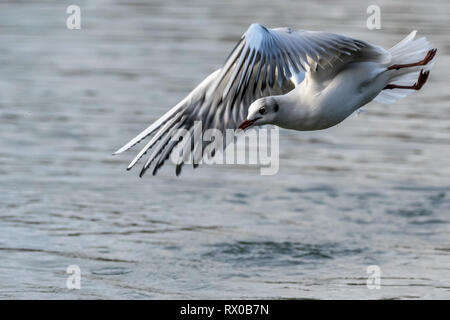 Seagull in flight over water - Stock Image