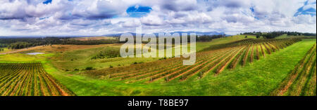 Bright vivid cultivated and fertilised hillside of vineyard in Hunter Valley wine making region of NSW, Australia. Elevated wide aerial panorama over  - Stock Image