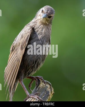Detailed close-up front view of scrawny, wild, juvenile starling fledgling (Sturnus vulgaris) isolated in natural outdoor UK habitat, perching upright. - Stock Image