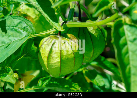 Tomatillos used for making salsa verde growing on the vine - Stock Image