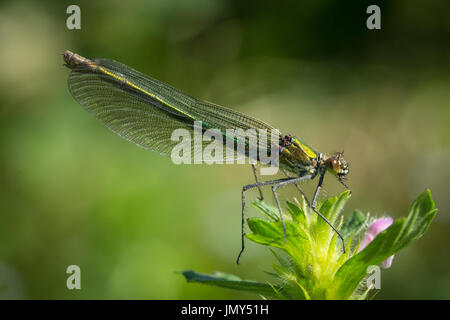close up macro shot of female banded demoiselle damselfly on a flower in Scotland - Stock Image
