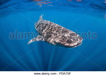 whale shark - Rhincodon typus - near Holbox (Mexico) - Stock Image