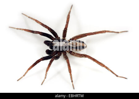 A male Wolf spider (Alopecosa taeniata) on white background. Wolf spiders are part of the family Lycosidae. - Stock Image