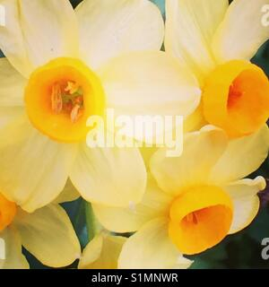 Macro daffodils - Stock Image