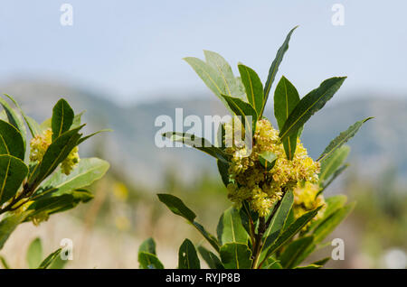 Bay laurel (Laurus nobilis) branch, flowering, Spain. - Stock Image