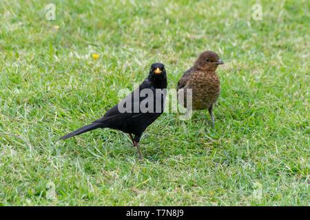 Male blackbird (turdus merula) feeding fledged juvenile female bird - Stock Image