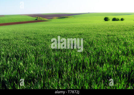 Green wheat fields. Agricultural land. Treated spacious field in the plane. Ploughing time. - Stock Image
