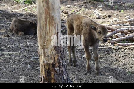 Olomouc, Czech Republic. 28th June, 2019. Calves of European bison (Bison bonasus) are seen in the Olomouc Zoo, Czech Republic, on June 28, 2019. Credit: Ludek Perina/CTK Photo/Alamy Live News - Stock Image