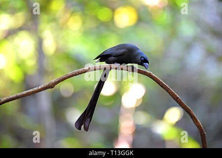 A Racket-tailed Treepie (Crypsirina temia) perched on a small branch in the forest in Western Thailand - Stock Image