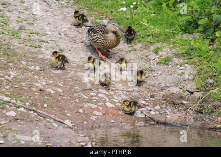 Mother duck and her eight ducklings walking down to the water.Anas platyrhynchos - Stock Image