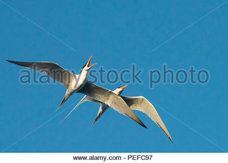 Caspian terns in mating flight over Isla San Esteban. - Stock Image