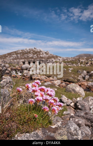 Sea Pinks on the Isle of Lewis - Stock Image