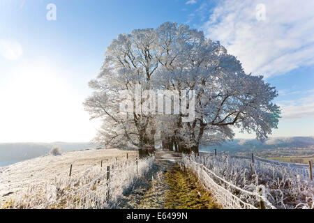 Snow covered tree on Downham Hill, Uley, Gloucestershire, UK - Stock Image
