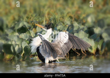 Cocoi Heron or White-necked Heron, Ardea cocoi, with feathers ruffled and wings spread in the Pantanal, Mato Grosso, - Stock Image