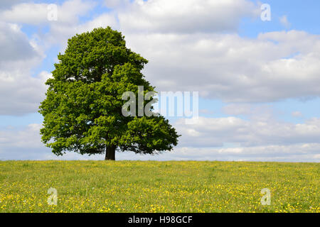 Single tree in a buttercup field under a cloudy blue sky - Stock Image