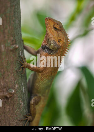A chameleon in the jungled forests of Southeast Asia. - Stock Image