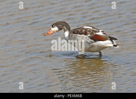 Common Shelduck (Tadorna tadorna) immature feeding in shallow water  Titchwell Marsh Nature Reserve, Norfolk, UK          August - Stock Image