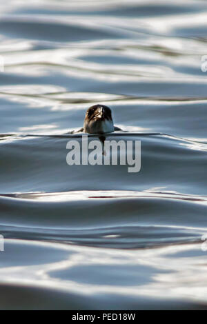 A juvenile Razorbill swims towards the camera, making steady progress through the gently undulating swells of a calm North Sea - Stock Image