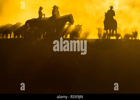 USA, California, Parkfield, V6 Ranch 4 riders on horses with cows silhouetted in golden early morning light. (MR) - Stock Image