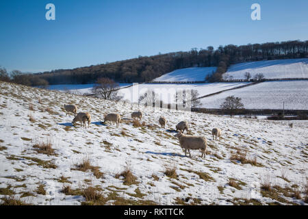 Shhep graze in snow covered fields near the Chiltern village of Fingest, Buckinghamshire. - Stock Image