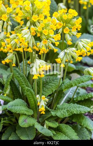 Primula elatior Pallasii - Stock Image