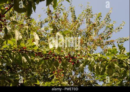 Prunus avium, Wild Cherry or Gean fruit, Berries in Summer, Wales, UK. - Stock Image