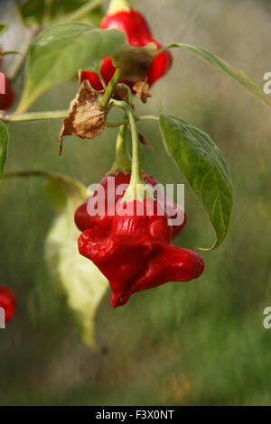 Capsicum baccatum 'Christmas Bell' pepper close up of fruit - Stock Image