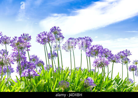 Purple-blue agapanthus flowers in full bloom on a sunny day against blue sky, bright colors, copy or text space, - Stock Image