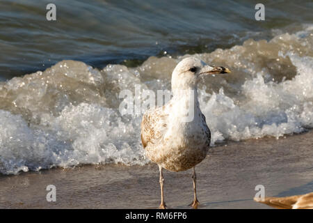 Waters of the Baltic Sea and lonely seagull. Cold waters of the Baltic Sea, sandy beaches and gulls that often visit these areas, which is easily obse - Stock Image