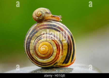 little snail on a big one Cepaea nemoralis brown-lipped snai - Stock Image