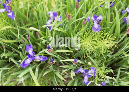 Purple iris flowers with horsetail, at the Owen Rose Garden in Eugene, Oregon, USA. - Stock Image