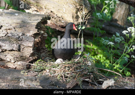 nesting Common Moorhen,(Gallinula chloropus), showing eggs being incubated, Regents Canal, London, United Kingdom, British Isles - Stock Image