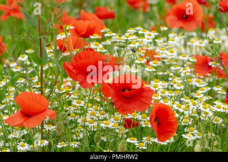Wild poppy flowers and daisies - Stock Image