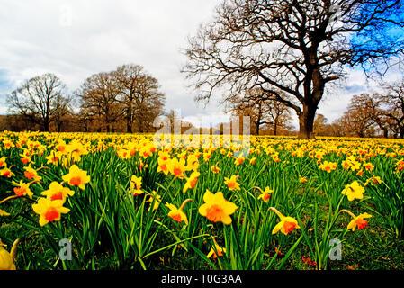 County Durham, Wynayrd Hall, Daffodils, springtime, England - Stock Image