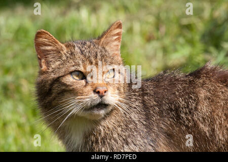 Wild Cat (Felis silvestris) - Stock Image