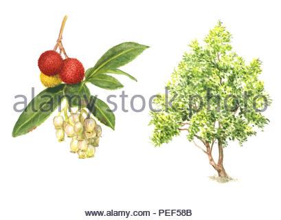 strawberry tree arbutus unedo - Stock Image