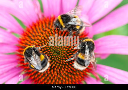 Three Bees on pink Echinacea flower - Stock Image