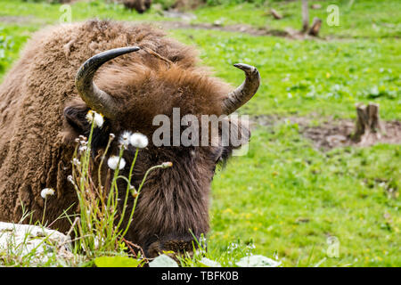 European bison (Bison bonasus) close view on head nad horns. - Stock Image