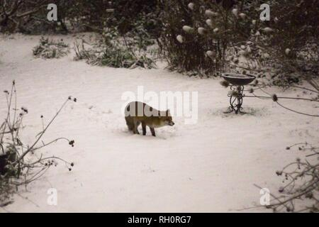 Hailsham, UK. 31st Jan 2019.UK weather.A Fox (vulpes vulpes) visits a garden in Hailsham after tonights heavy snowfall reached East Sussex, UK. Credit: Ed Brown/Alamy Live News - Stock Image