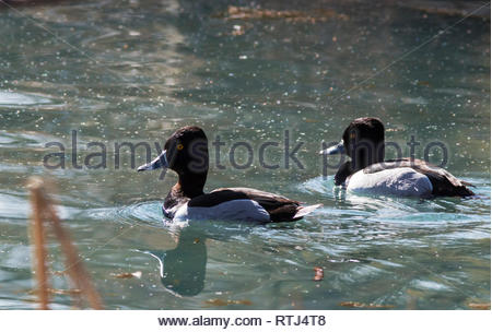Ring-necked Duck, Aythya collaris, 2 males swimming on pond in New Mexico USA - Stock Image