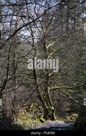Lichen and fern covered tree Grizedale Forest Lake District Cumbria England - Stock Image