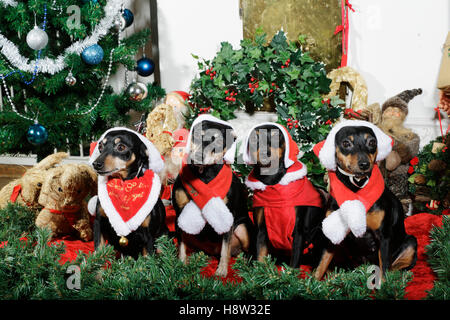 Small miniature pinschers dressed as father christmas - Stock Image