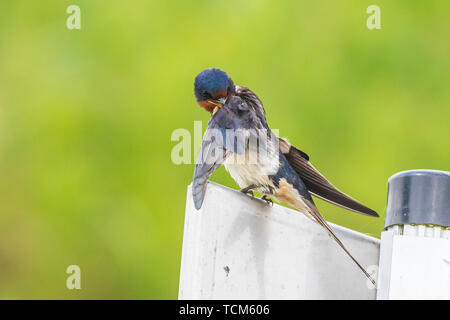 Closeup of a Barn Swallow (Hirundo rustica) resting after hunting on barbwire. This is the most widespread species of swallow in the world and the nat - Stock Image