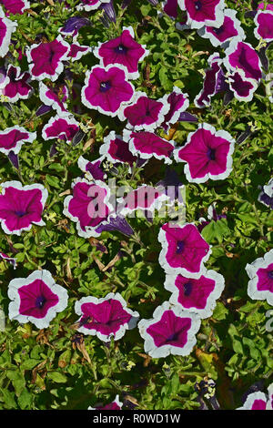 Close up of a flower border with flowering Petunia Tea Purple White Edge - Stock Image