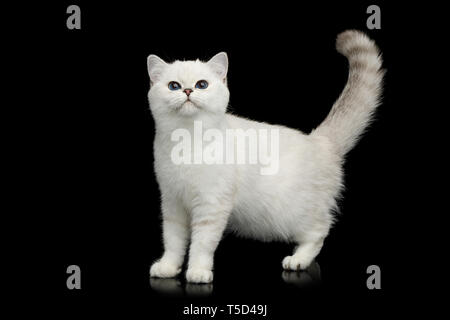 British White Cat with blue eyes Standing and Curious looking on Isolated Black Background, side view - Stock Image