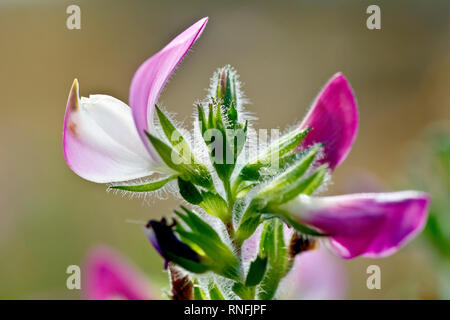 Restharrow (ononis repens), close up of a single back lit flower with buds. - Stock Image