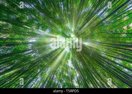 nature background of bamboo forest with sun rays - Stock Image